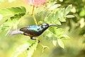 Loten's Sunbird AMSM9901.jpg