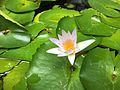 Lotus in a pond.jpg
