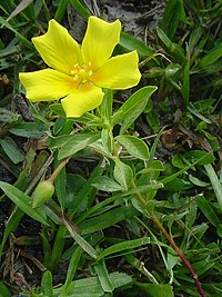Ludwigia peploides 3
