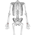Lunate bone 01 palmar view.png
