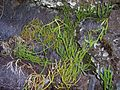 Lycopodium clavatum at the base of plateau des Basaltes-1.JPG