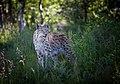 Lynx (56102372).jpeg