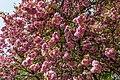 Münster, Park Sentmaring, Japanische Blütenkirsche -- 2015 -- 5714.jpg