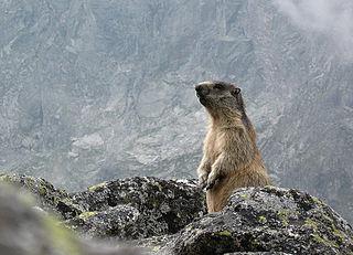 Svišť vrchovský tatranský (lat. Marmota marmota latirostris)