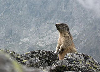 Svišť vrchovský tatranský (Marmota marmota latirostris)