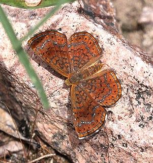 <i>Calephelis arizonensis</i> Species of butterfly