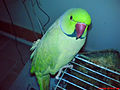 MLDKH Pho Parrot 03.jpg