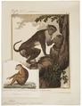 Macacus erythraeus - 1838 - Print - Iconographia Zoologica - Special Collections University of Amsterdam - UBA01 IZ20000081.tif