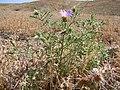 Machaeranthera tanacetifolia (7281712728).jpg