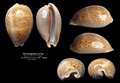 Macrocypraea cervus 95 2 mm Mexique.png