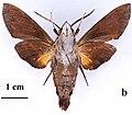 Macroglossum eitschbergeri holotype, male, underside. Philippines, Negros, Mt Canlaon.jpg