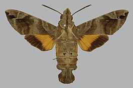 Macroglossum particolor BMNHE813443 female up.jpg