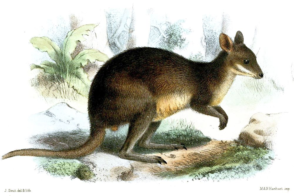 The average litter size of a Brown's pademelon is 1