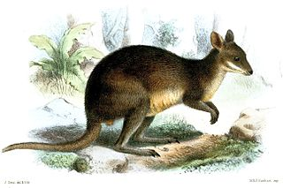 Browns pademelon species of mammal