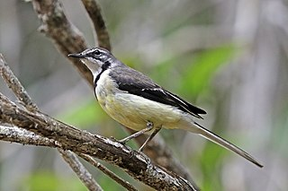 Madagascan wagtail Species of bird
