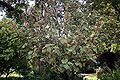 Madeira, Palheiro Gardens - Myriocarpa longiceps IMG 2235.JPG