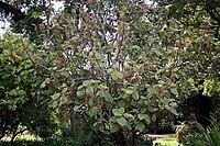 Madeira, Palheiro Gardens - Myriocarpa longiceps IMG 2235