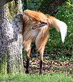 Maehnenwolf urinierend Chrysocyon brachyurus Tierpark Hellabrunn-1.jpg