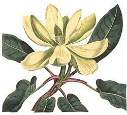 Magnolia fraseri - Curtis.jpg