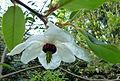 Magnolia wilsonii (7224974080).jpg
