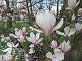 Magnolienblüten - panoramio.jpg