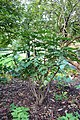 Mahonia bealei - Brooklyn Botanic Garden - Brooklyn, NY - DSC07923.JPG