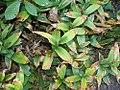 Maianthemum stellatum 2zz.jpg