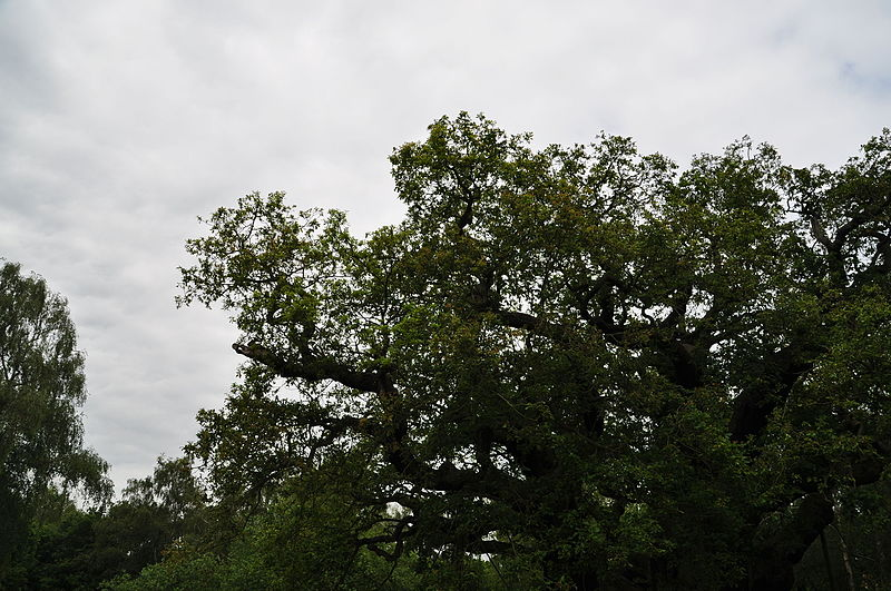 File:Major Oak (9504).jpg