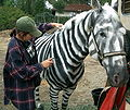 Making a Zebra.jpg