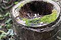 Malaysian fungus (25730686022).jpg