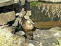 Mallard Duck - Hen 1.JPG