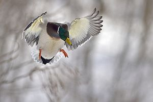 Duck - Mallard landing in approach