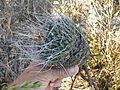 Mammillaria casoi (mystax) (5738767369).jpg