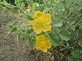 Mandharai flower.JPG