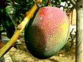 Mangifera indica (Manguier 3).jpg
