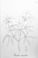 Manihot pentaphylla tenuifolia Pohl29.png