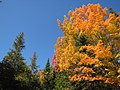 Maple against sky (6189158549).jpg