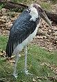 Marabou Stork 001.jpg
