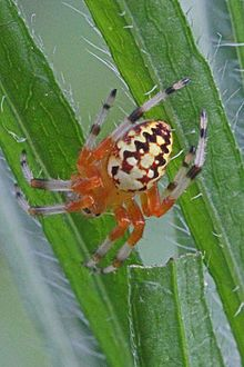 Marbled Orbweaver - Araneus marmoreus, Julie Metz Wetlands, Woodbridge, Virginia - 05.jpg