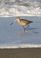 Marbled godwit, Limosa fedoa, Moss Landing (Elkhorn Slough and beach), California, USA. (30852948161).jpg