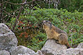 Marmotte à l'affût.jpg