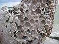 Martesia striata bivalves in wood borings (driftwood on marine beach, Cayo Costa Island, Florida, USA) 6 (24269050742).jpg