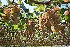 Marufuji Winery 190907f1.jpg