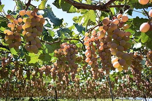 Marufuji Winery 190907f1