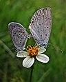 Mating butterflies (6225963882).jpg