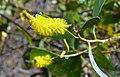 Maturing wattle flower.jpg