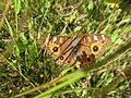 Meadow Argus (5360048734).jpg