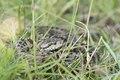 Meadow viper - Spitssnuitadder - Vipera ursinii.tif