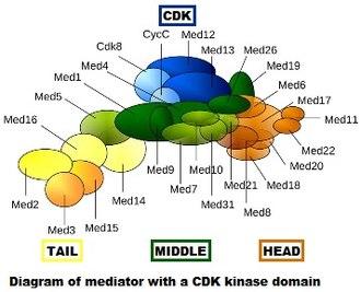 Mediator (coactivator) - Diagram of mediator with cyclin-dependent kinase module