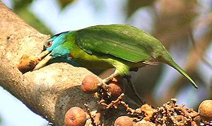 Blue-throated barbet - Image: Megalaima asiatica